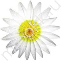 Q Бум укр Цветок Белый 50см
